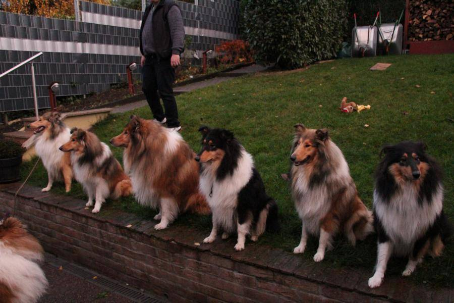 Collieparade